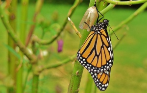 butterfly_chrysalis